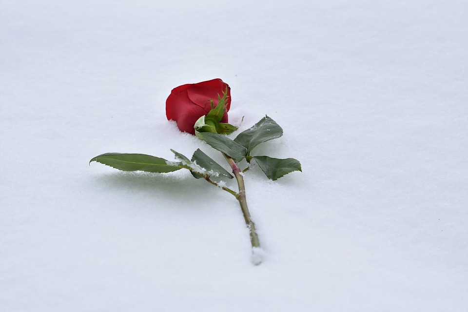 red-rose-in-snow-3178529_960_720